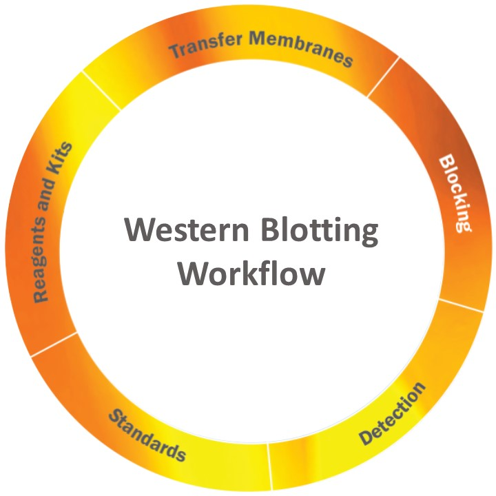 Western Blotting Workflow
